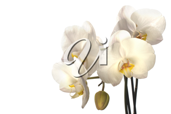 orchid isolated on white background close up