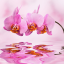 beautiful orchid on pink blured background with reflection