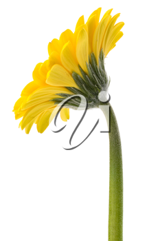 Beautiful daisy gerbera flower isolated on white background