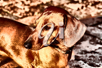 Royalty Free Photo of a Dachshund
