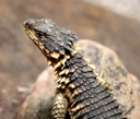 Royalty Free Photo of a Sungazer Lizard Basking in the Sun