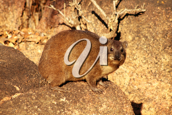 Side View of a South African Dassie on Rocks