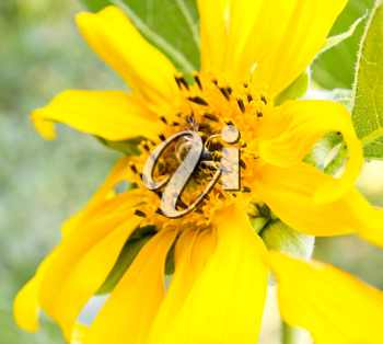 The bee on a sunflower collects honey