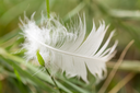white feather in the grass