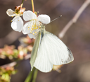 white butterfly on a white flower
