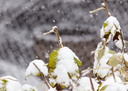 the leaves of the bush in the snow