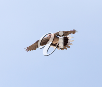 Dove in flight against a blue sky