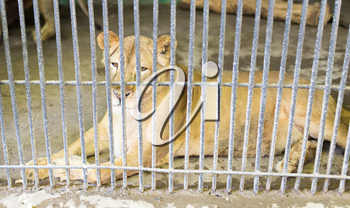 lion behind a fence in zoo
