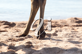 foot of a camel in the sand