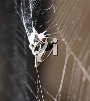 eating spider on the web. macro