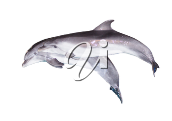 Two dolphins on a white background