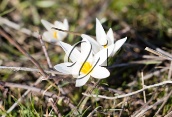 Beautiful snowdrop flower on nature in spring .