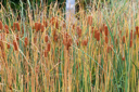 Royalty Free Photo of Bulrushes