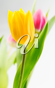 Yellow tulip closeup on a background of red flowers and green stems.