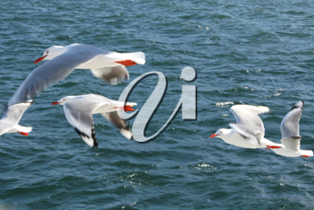 Royalty Free Photo of Seagulls Flying Over Water