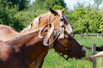 Royalty Free Photo of a Person Feeding Horses
