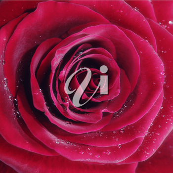 Royalty Free Photo of a Red Rose and Water Drops