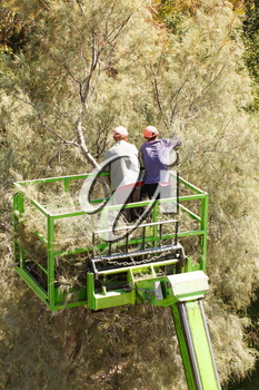 Two gardeners on lifting car platform, trimming the tree.