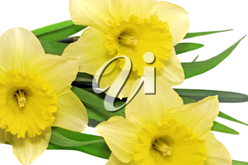 Beautiful spring three  flowers : yellow narcissus (Daffodil). Isolated over white.