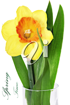 Beautiful spring single flower: orange narcissus (Daffodil). Isolated over white.