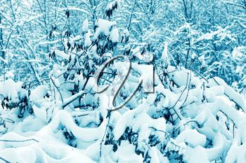 The snow-covered forest.