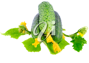 Fresh  cucumbers on  with green leaf and yellow blossom cluster. Isolated over white.