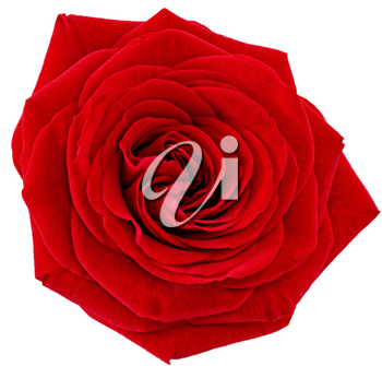 Beautiful single red  rose flower. Isolated