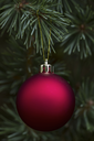 Glowing red ball ornament hanging from real noble fir tree