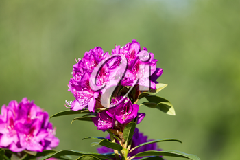 Close up image of a freshly bloomed beautiful pink coastal Rhododendron flower with bright green blurred out background.