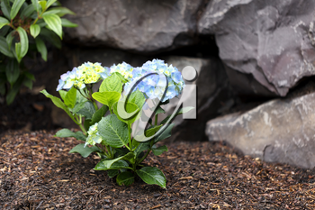 Hydrangea shrub flower turning light blue color with rock retaining wall in background