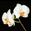 White orchid on black background. Closeup.