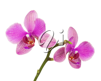 Very rare purple orchid isolated on white background. Closeup.