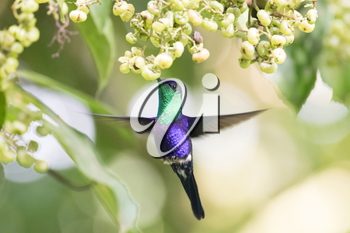 Beautiful Violet-crowned Woodnymph (Thalurania colombica colombica) male hummingbird feeding on some wild flowers