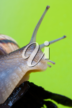 Royalty Free Photo of a Snail