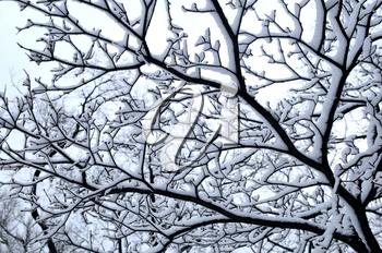 Branch of a winter tree covered with snow