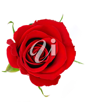 Top view of a red rose blossom isolated on white background
