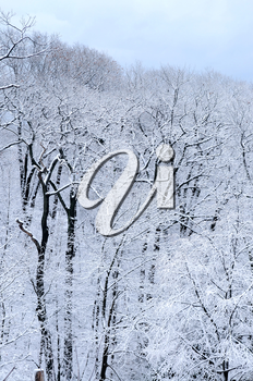 Winter forest covered with snow, natural background