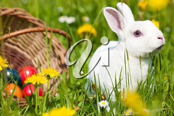 Easter bunny with eggs on a meadow in spring