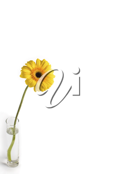 Image of yellow gerbera in a glass of water