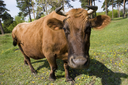 Fisheye of brown cow grazing and looking at camera on green meadow at summer