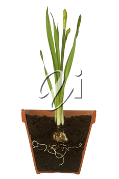 Cross section of a spring bulb with it's roots showing in a terracotta pot, isolated on a white background.