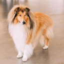 Red Rough Collie Dog Full Length Portrait On Brown Floor