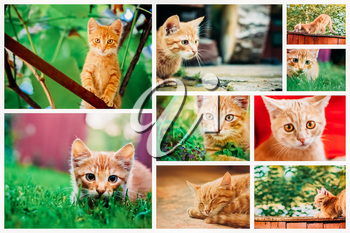Peaceful Orange Red Tabby Male Kitten. Set Collage, Background