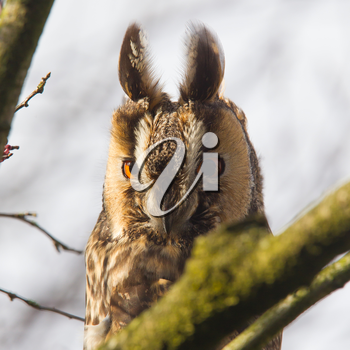 Long Eared Owl (Asio otus) in a tree