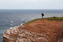A photographer is photographing the gannets on Helgoland