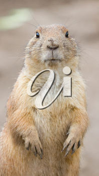 Close-up of a cute prairie dog(Holland)