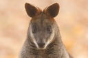 Close-up swamp wallaby in a dutch zoo, selective focus on the eyes