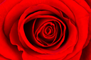 Close-up of a bright red rose, isolated