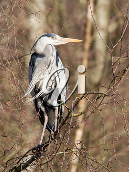 Great Blue Heron resting in a tree, Holland