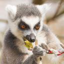 Ring-tailed lemur (Lemur catta) eating from a tree